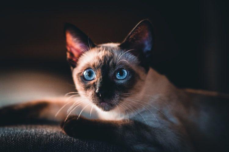 Ilustrasi kucing mata biru