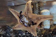 Foto Langka, Bintang Laut Tertangkap Memakan Kepiting