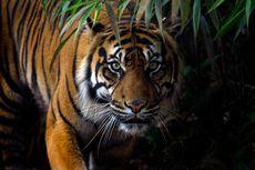Langgar Protokol Keamanan, Seorang Sukarelawan Diserang Harimau hingga Patah Tulang