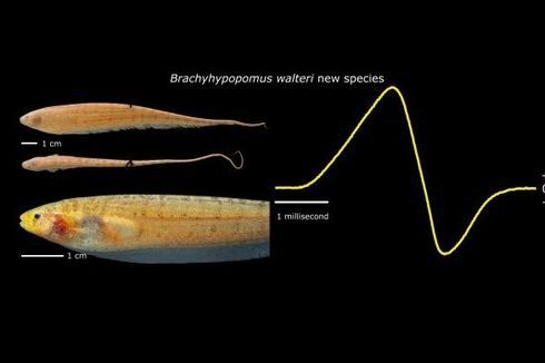 Ditemukan, Spesies Ikan yang Bisa Menghasilkan Listrik