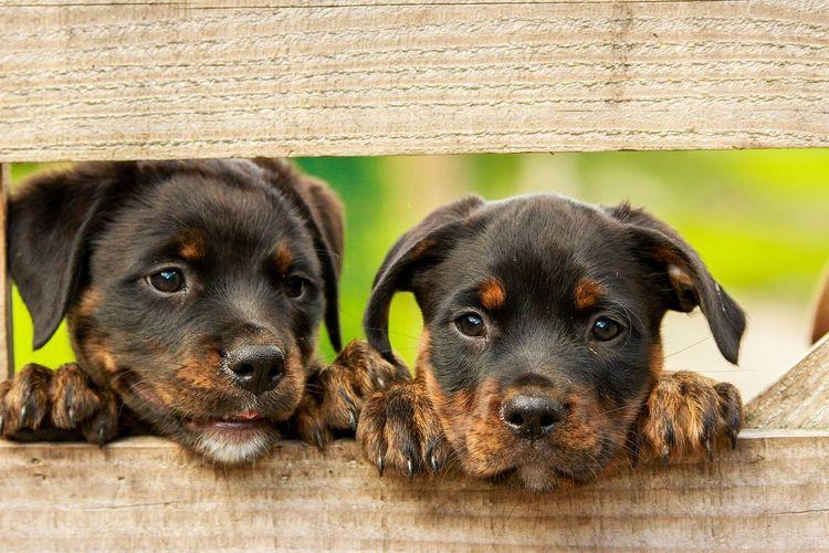 Ilustrasi anak anjing rottweiler.