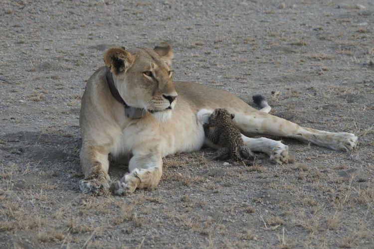 Foto seekor singa yang sedang menyusui anak macan tutul.
