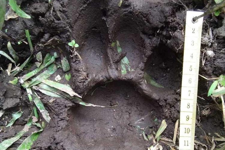 Petugas BBKSDA Riau mengukur ukuran tapak harimau sumatera yang ditemukan disekitar lokasi bangkai sapi yang diduga dimangsa di Desa Kuala Tolam, Kecamatan Pelalawan, Kabupaten Pelalawan, Riau, Selasa (25/2/2020).