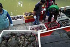 Harga Kepiting Bertelur Selundupan Melesat 6 Kali Lipat di Malaysia