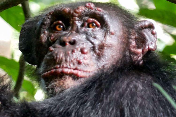Peneliti mendokumentasikan simpanse yang menderita kusta di Taman Nasional Cantanhez Guinea-Bissau dan Taman Nasional Taï di Pantai Gading.