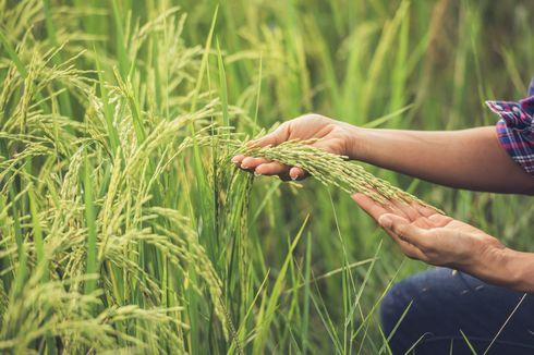 Pakar UGM: Produktivitas Padi Nasional Stagnan, Hal Ini Bisa Terjadi