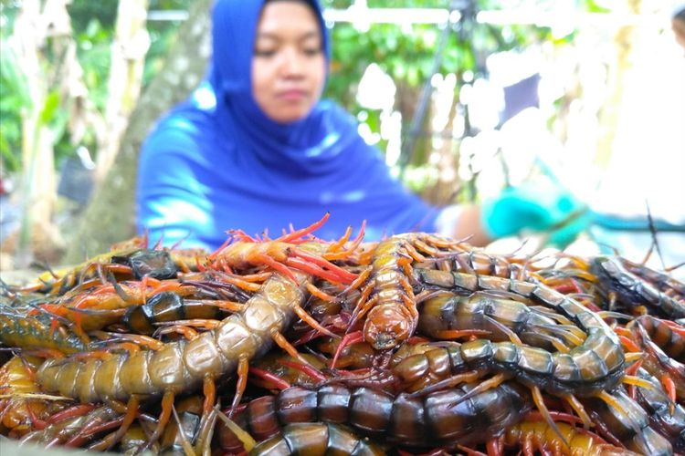 Tumpukan lipan yang siap untuk 'disate'. Lipan ini dalam keadaan hidup dijadikan sebagai pakan ikan arwana sedangkan dalam keadaan mati kering dikirim ke Surabaya dan ekspor ke Vietnam.