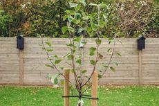 Langkah-langkah Menanam Pohon di Halaman