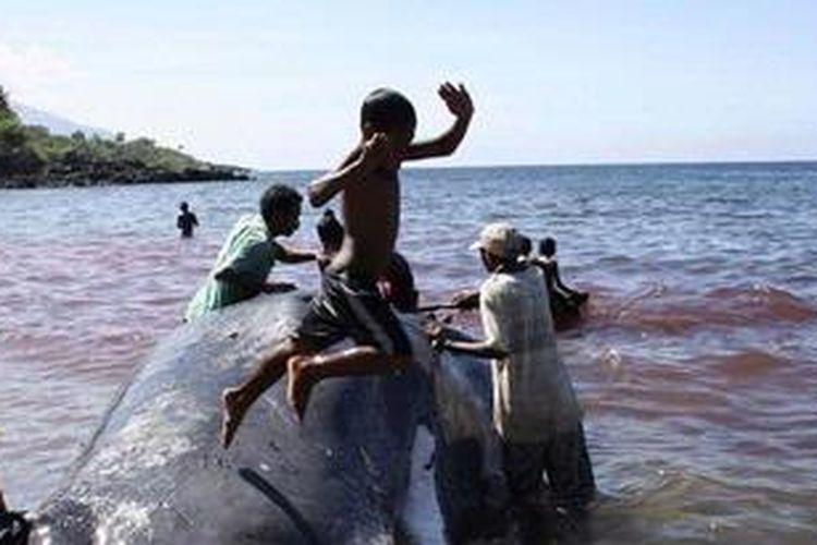 Sejumlah bocah laki-laki asyik bermain di badan seekor paus sperma (Physeter macrocephalus) sepanjang sekitar 10 meter yang berhasil ditangkap secara tradisional di kawasan kampung nelayan Lamalera, Kecamatan Wulandoni, Kabupaten Lembata, NTT, Minggu (23/5/2010).