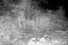 Penyebab Kemunculan Harimau di Langkat dan Cara Mencegahnya