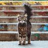 Alasan Mengapa Kucing Peliharaan Memburu hingga Memakan Tikus