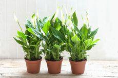 Tips Merawat Bunga Peace Lily agar Tumbuh Subur dan Mekar
