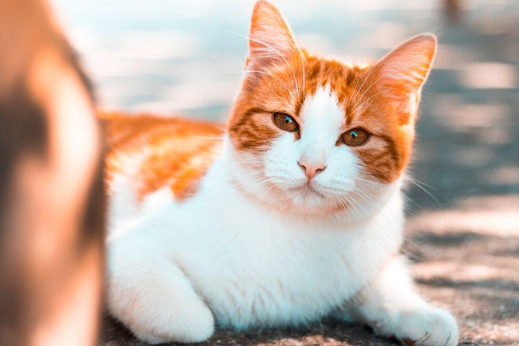Ilustrasi kucing.