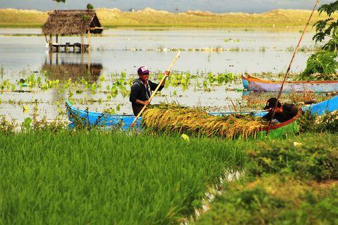 Jerit Petani, Sawah Kebanjiran, Terpaksa Panen Padi Muda dari Atas Perahu