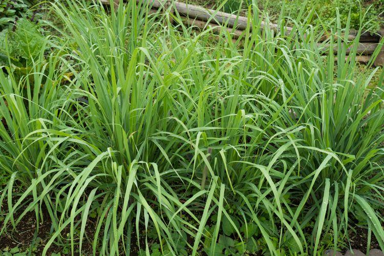 Ilustrasi tanaman lemongrass atau serai wangi