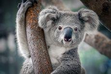 Fakta Unik Koala: Sidik Jarinya Mirip Manusia