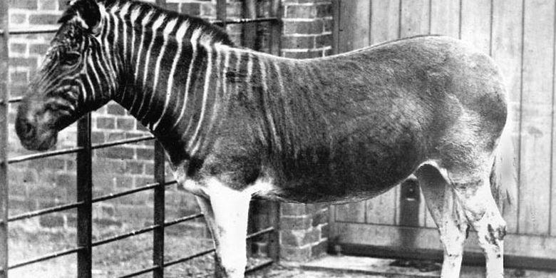 Quagga (Equus quagga quagga) punah karena perburuan. Hewan ini memiliki belang mirip zebra di bagian kepala hingga leher dan pada bagian perut hingga ekor berwarna cokelat seperti kuda.