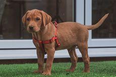 Betulkah Anjing Berwarna Cokelat Lebih Berumur Pendek?