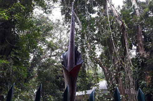 Bunga Bangkai Langka Setinggi 2,9 Meter Mekar Sempurna di Kebun Raya Bogor