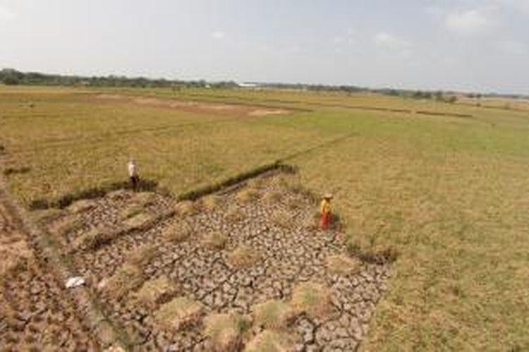 Warga memanen padi di Desa Panyindangan, Kecamatan Sindang, Kabupaten Indramayu, Jawa Barat, Senin (17/8/2015). Warga mengaku gagal panen padi akibat sungai untuk irigasi mengalami kekeringan saat musim kemarau.
