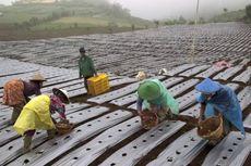 Petani Holtikultura Terpaksa Buang Hasil Panen karena Tak Ada yang Membeli