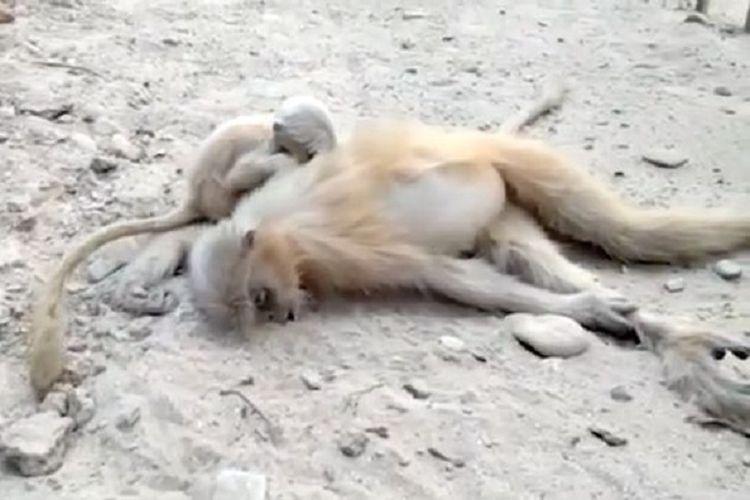 Potongan gambar video memperlihatkan seekor bayi monyet yang berusaha membangunkan sang induk yang diketahui mati tersetrum.