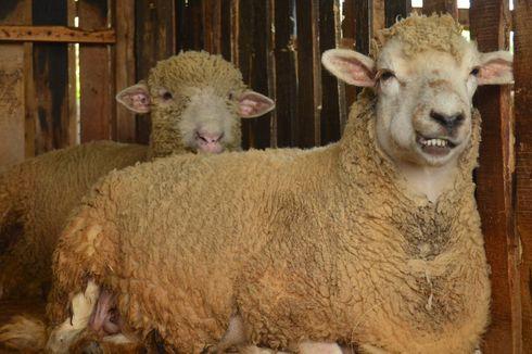 Babi di Sumut Masih Berpotensi Kena ASF, Domba Merino Bisa Jadi Alternatif