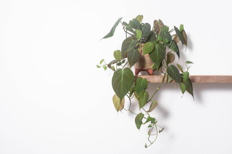 Las hojas de filodendro en forma de corazón son muy hermosas y adecuadas para guardar en el dormitorio.