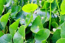 Lonjakan Covid-19, 6 Tanaman Herbal Ini Mampu Tingkatkan Imunitas Tubuh