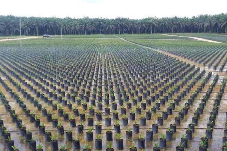 Ilustrasi: Bibit kelapa sawit.