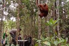 Sempat Masuk ke Permukiman Warga, Orangutan Tapanuli Dilepasliarkan ke Habitatnya