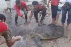 Akibat Tsunami Selat Sunda, 15 Penyu Sisik Terdampar di Pesisir Kalianda