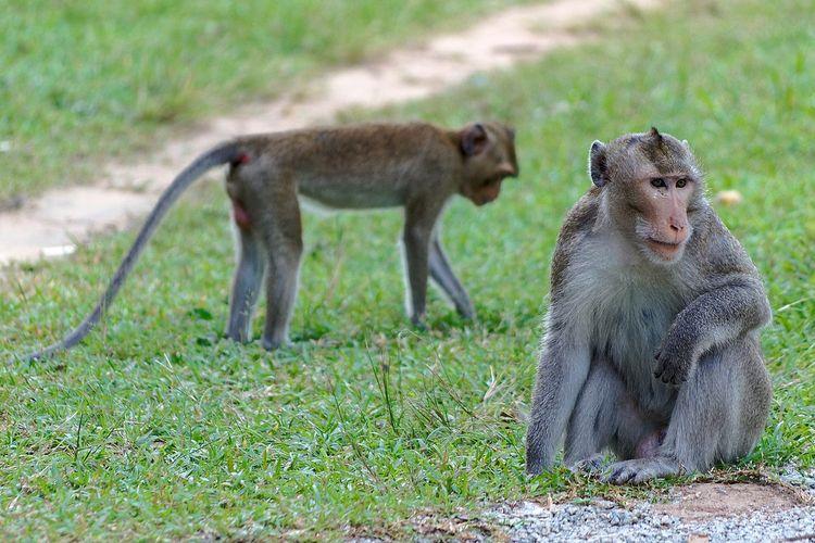 Ilustrasi kera rhesus. Spesies primata yang banyak digunakan dalam penelitian sains, termasuk studi tentang pandemi Covid-19.
