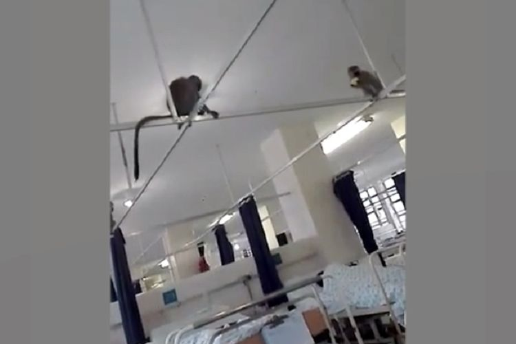 Kawanan monyet masuk ke Rumah Sakit RK Khan di Durban, Afrika Selatan. (Facebook/Yoga Naidoo via daily Mail)