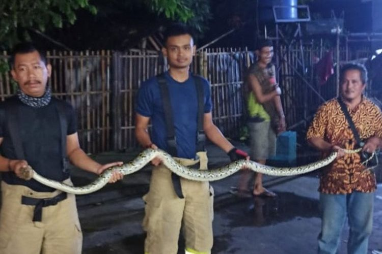 Petugas Damkar Jakarta Timur memperlihatkan temuan ular sanca sepanjang dua meter yang ditemukan dari belakang kulkas rumah penduduk di Setu, Cipayung, Jakarta Timur, Senin (30/3/2020) malam.