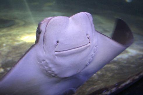 Penasaran dengan Ikan Pari Pesek?  Kunjungi Seaworld di Liburan Kali Ini