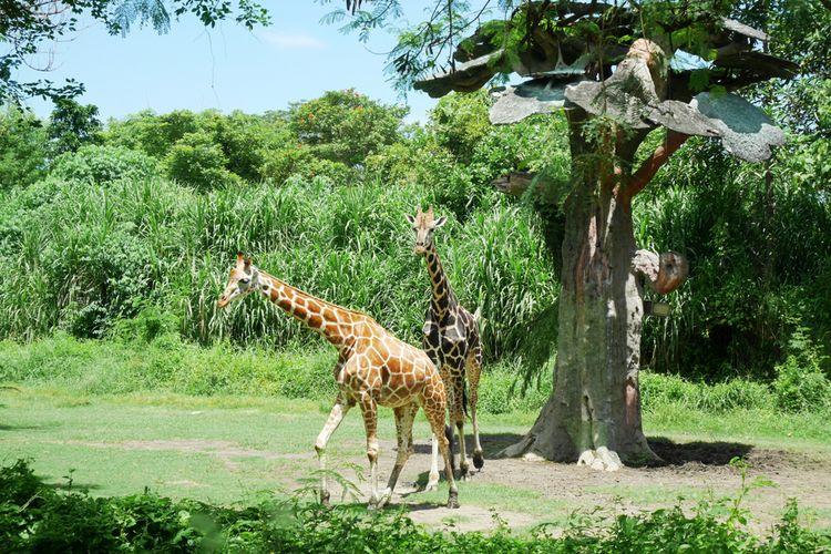 Taman Safari Bali merupakan tempat yang cocok untuk berlibur bersama keluarga tercinta.