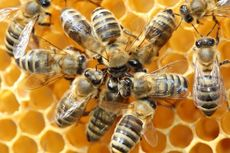 Bagaimana Lebah Memproduksi Madu?