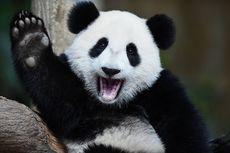 Fakta Menarik Dua Warna Bulu Panda, Alat Kamuflase dan Komunikasi