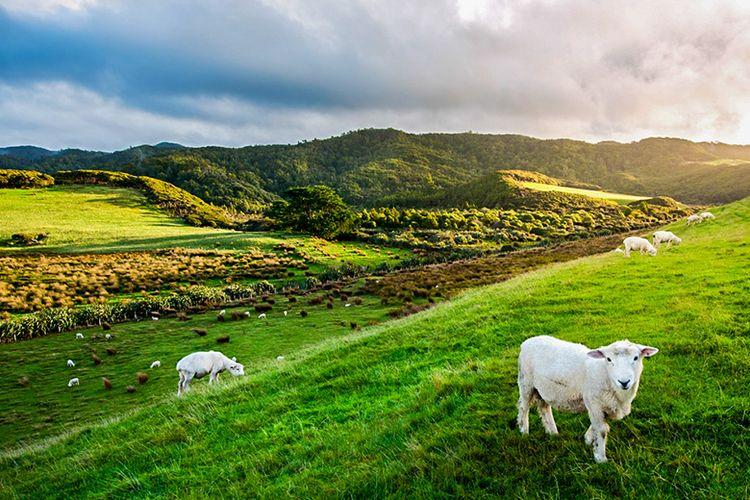 Sekumpulan domba di Selandia Baru.