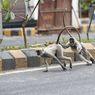 Sekawanan Monyet di India Curi Sampel Darah Pasien Covid-19