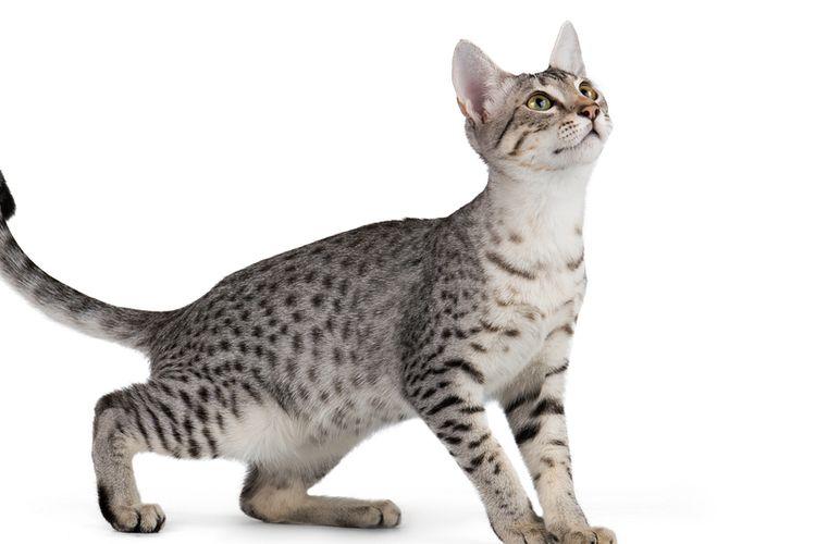 Ilustrasi kucing Egyptian Mau.