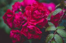 5 Tips Merawat Bunga Mawar agar Rimbun, Sehat, dan Berbunga Besar