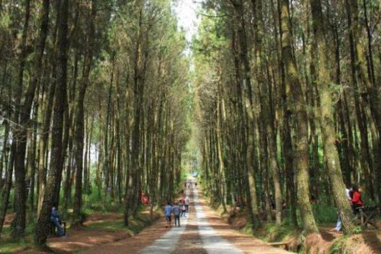 Ilustrasi hutan pinus.
