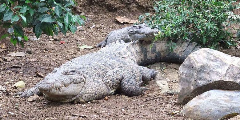 Buaya Irian (Crocodylus novaeguneae).