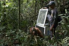 Selesai Direhabilitasi, 3 Orang Utan Dilepasliarkan ke Hutan TNBBBR Kalteng