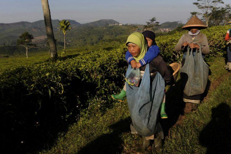 Buruh Petik Teh-Buruh perempuan memulai aktivitas mereka memetik teh di kebun teh Kaligua milik PT Perkebunan Nusantara IX di Kecamatan Guyangan, Kabupaten Brebes, Jawa Tengah, Rabu (20/8/14). Para buruh tersebut mendapatkan upah Rp 400 per kilogram dari hasil petik teh.