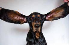 Pecahkan Rekor Guinness, Anjing Ini Punya Kuping Terpanjang di Dunia