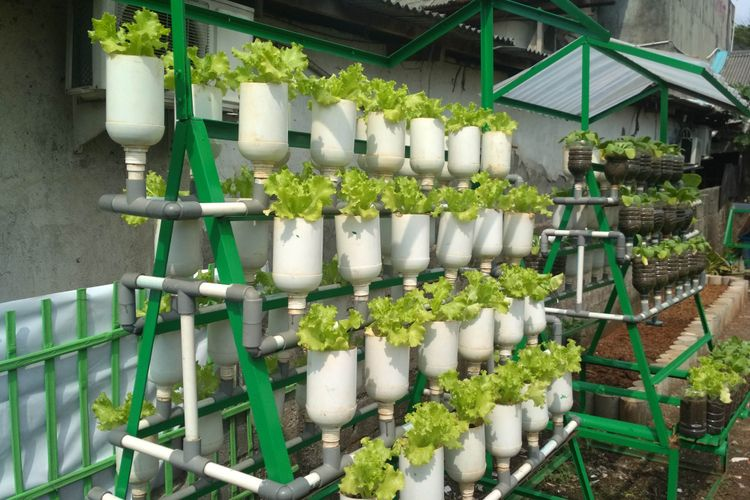 warga RW 10 Kebayoran Lama di jaksel memanfaatkan pot dari botol bekas dan pipa untuk menanam sayuran organik seperti selada.