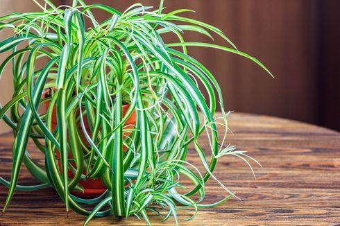 4 Tips Merawat Spider Plant Agar Tumbuh Subur
